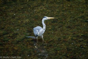 Heron poised in water reflection