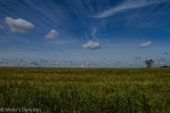 Cotton ball clouds over wheat fields