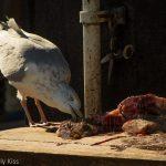 Gull scavenging fish guts