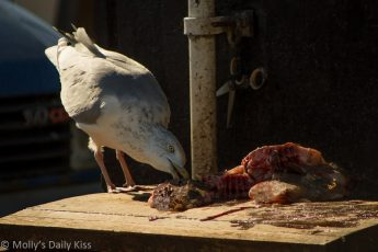 Gull scavenging fish guts