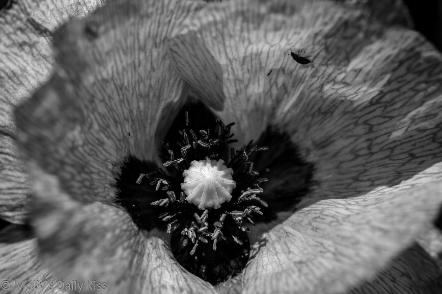 Poppy flower in interpretive black and white
