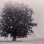 Old oak tree in morning autumn fog. A simple vision