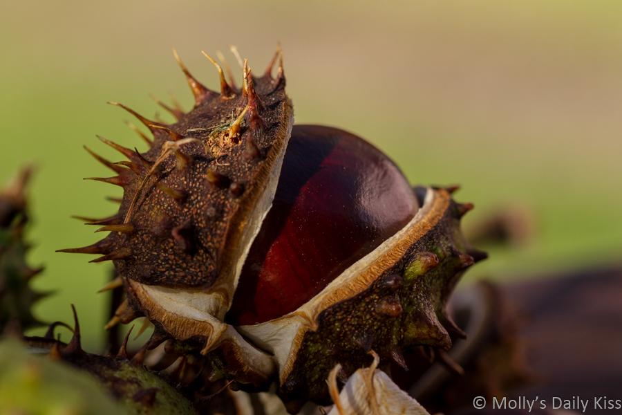 Horse chesnut seeds