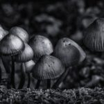 Black and White of Fungus toadstool in woods