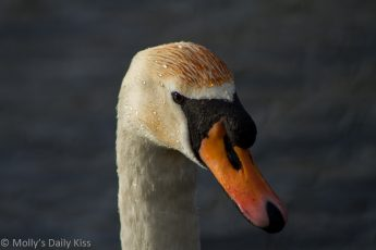 Regal looking swan with coloured head
