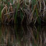reeds reflected in ripple in the water