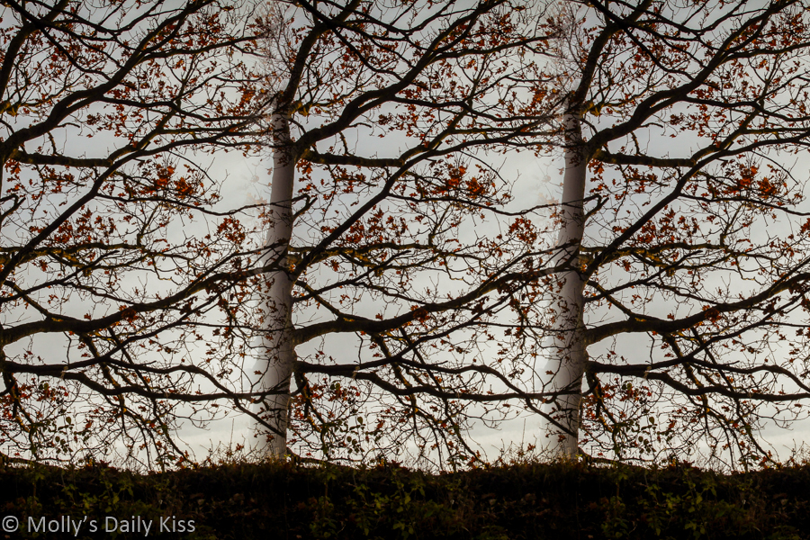 Three trees overlaping each other in composite image of tree bodies