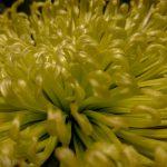 Yellow fronds of flower in macro, soul of flower