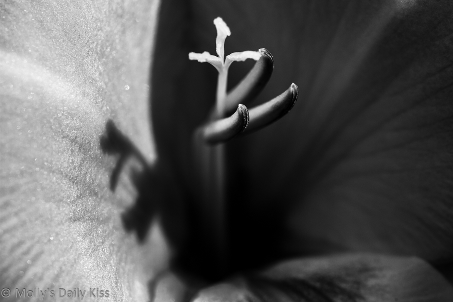 Black and White of gladioli bloom, delight for the soul