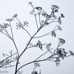 Silhouette of seed heads covered in frost against white winter sky