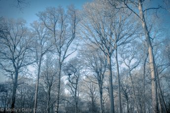 Frost white trees against blue skies. undress