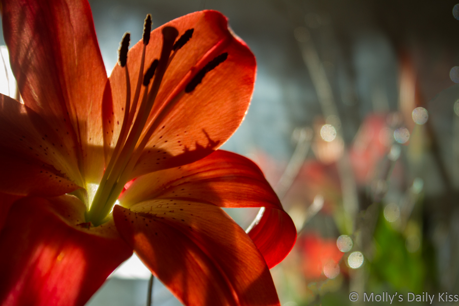 Orange lily with reflection in mirror
