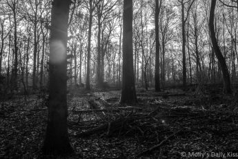 Black white of bare trees in the woods with sunburst of light