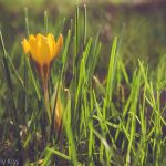 Yellow crocus pushing up through the grass in spring sunlight