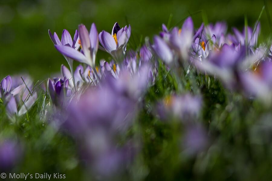 Bokeh shot of lilac crocus in spring sunlight