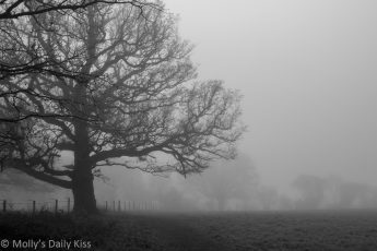 Black and white of large oak tree in the morning february mists