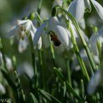 Snowdrop in sunshine sparkling with joy