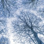 Looking up through the winter trees in the woods