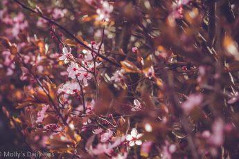 Joy of Pink blossom on bush in sunlight