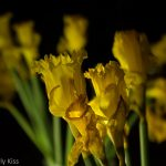 daffodils reflected in mirror
