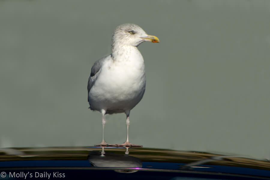 seagull reflection on roof of car, the perfect spot to sit and wait