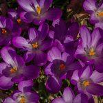 purple crocus flowers mark the coming of spring