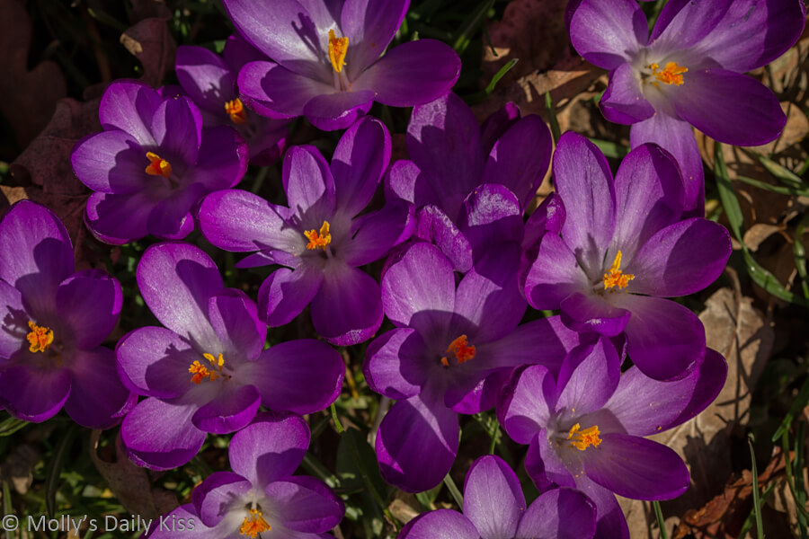 purple crocus flowers mark the coming of spring