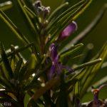 Rosemary herb flowering