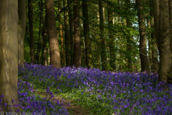 bluebells through the woods that looks like a river of blue