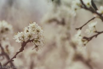 White spring blossom saith it has banished the winter