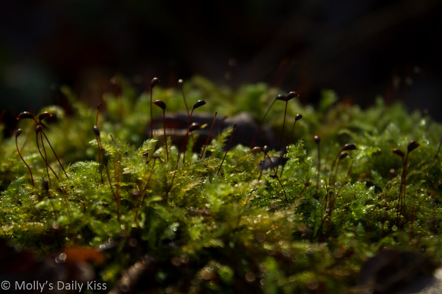 Eternal spring. Macro shot of moss with droplets of rain