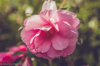 Pink camellia in spring sunlight