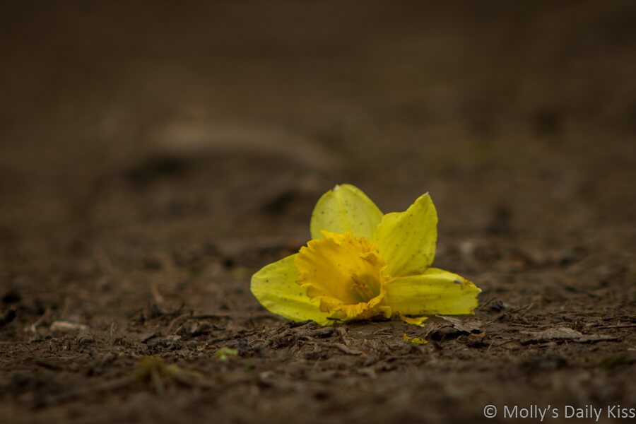 bashed and discarded daffodil