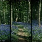 Triptych of bluebells in the woods that look like fair bells