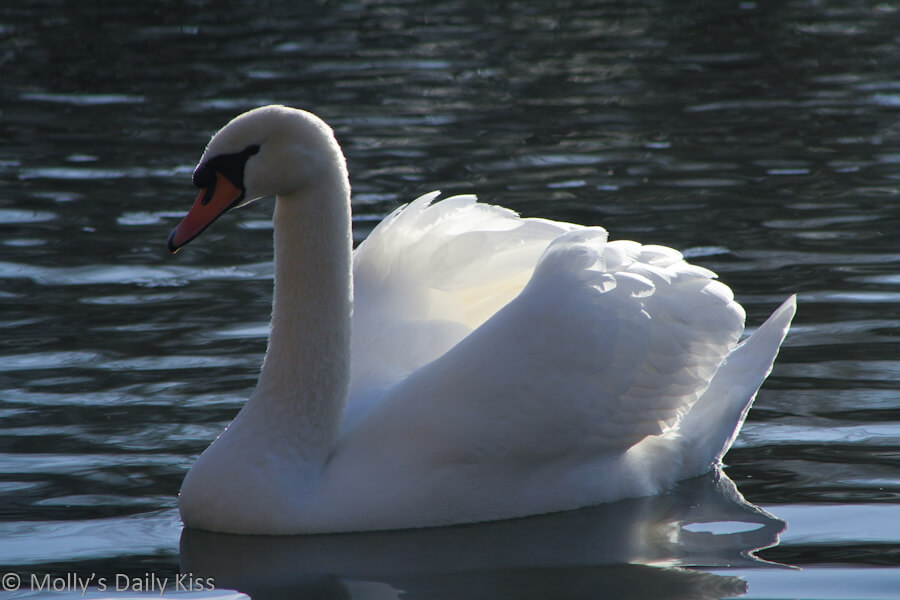 Beautiful white swan on the water