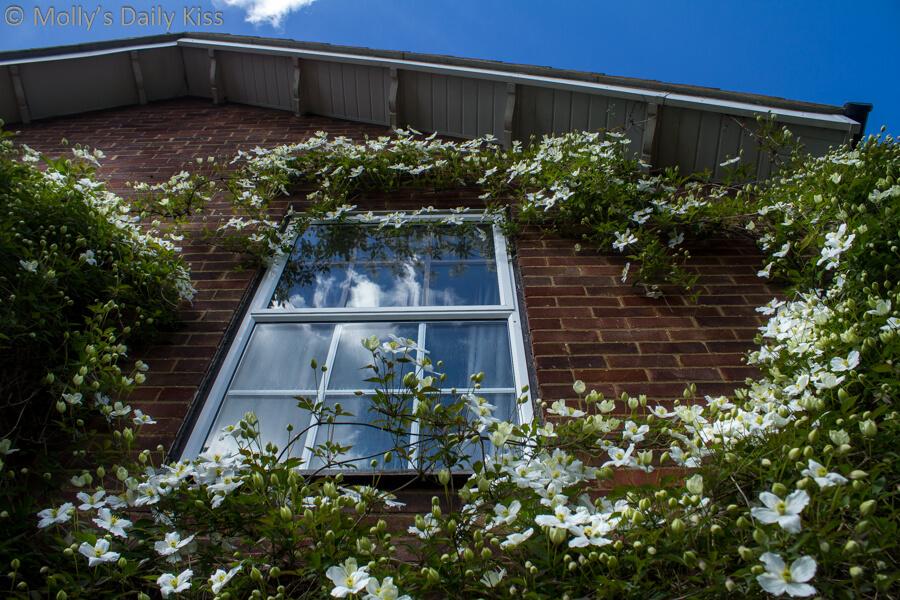 Clematis Montana white around bedroom window