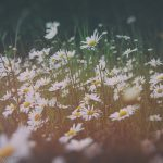 A field of oxeye daisies