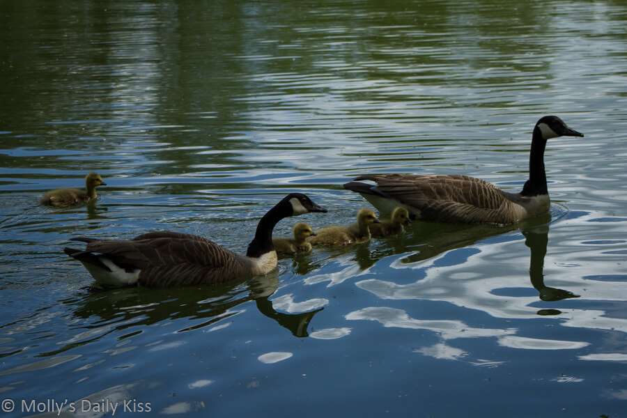 geese family reflected in water