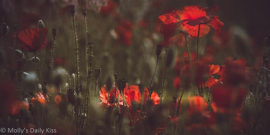 Sunlight through field of wild poppies