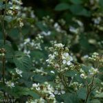 Blackberry bramble white blossom