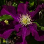 Purple clematis is a young beauty in my garden