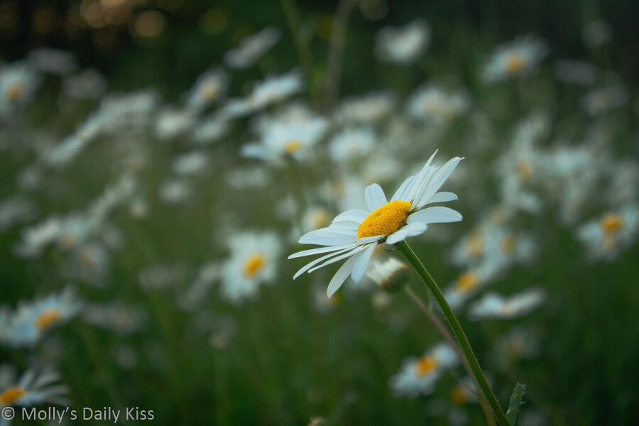 Daisy play in fields of daisy flowers