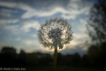 Dandelion sunset in front of setting sun
