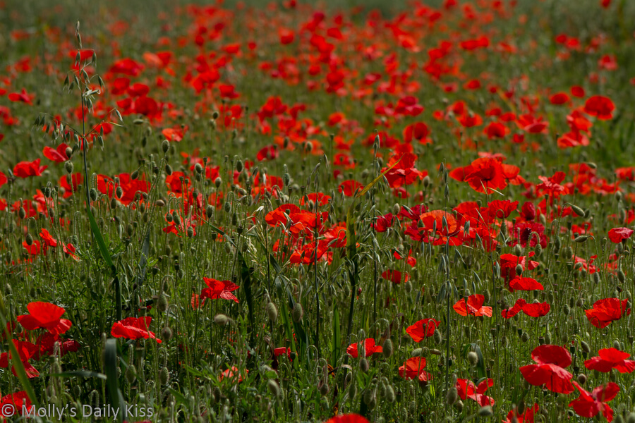 Field of bright red poppies as far as the eye can see