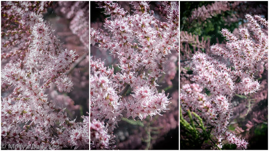 Pink Tamerisk in full bloom triptych