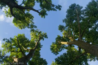Looking up through oak trees to the blue skies