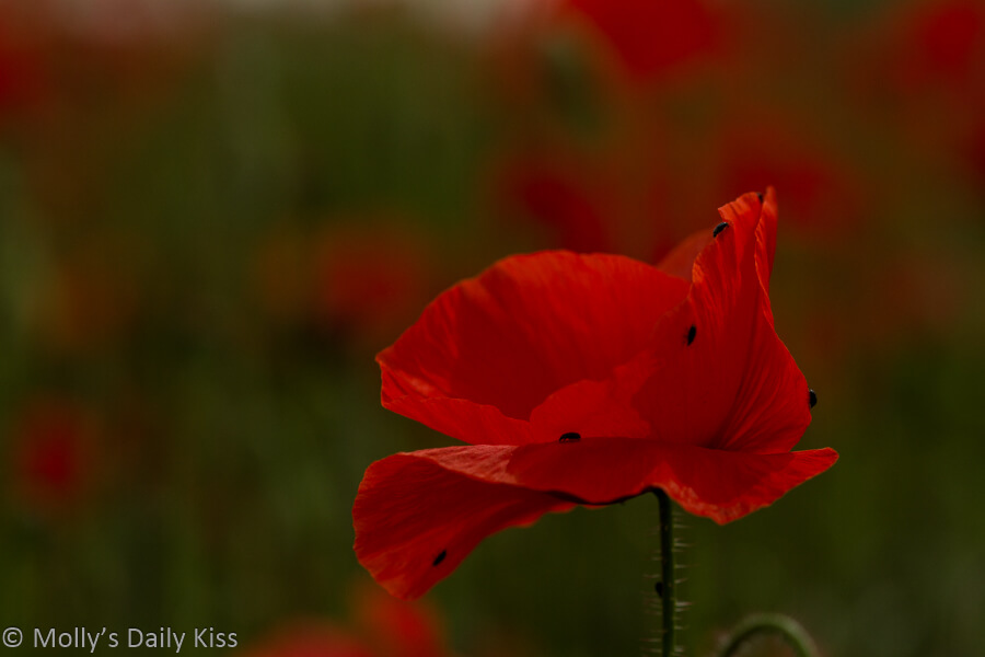Little creatures are tiny black beetles on red poppy flower