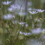 Dainty white flower in meadow