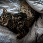 Cat sleeping wrapped up in duvet