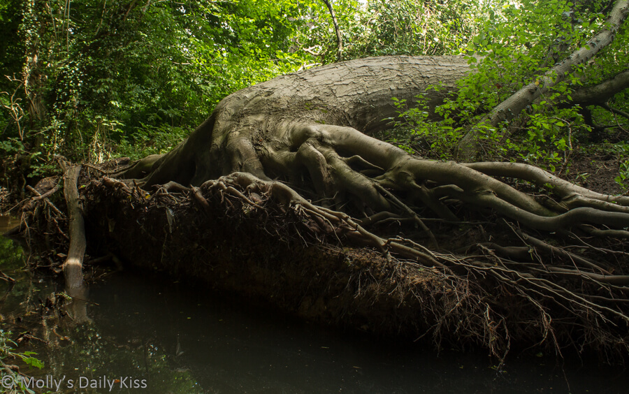 Giants tree laying down with roots exposed